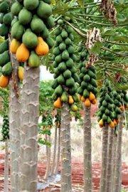 Busco Inversion para Exportar Frutas Tropicales