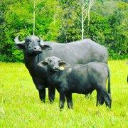 Busco Socio Inversionista para fabricación Mozarella de Bufala en Panamá